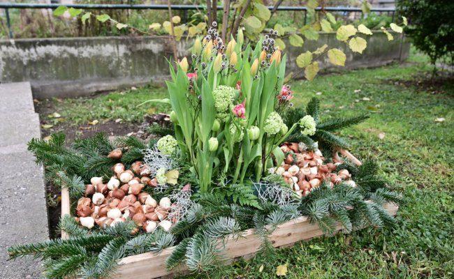 Tulpen und Tulpenzwiebel aus Holland